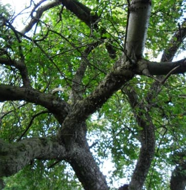 Revitalizing Your Old, Old, Apple Trees