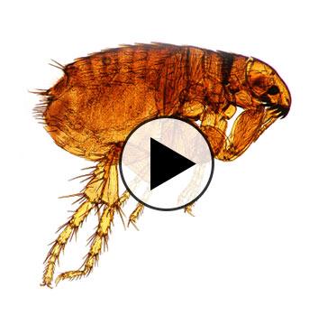 Creature Care – Flee the Fleas!